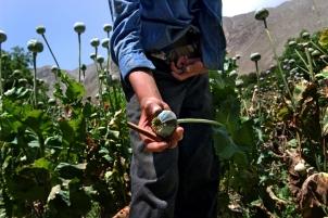 Poppy Fields in Afghanistan