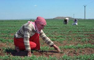 Syria agriculture