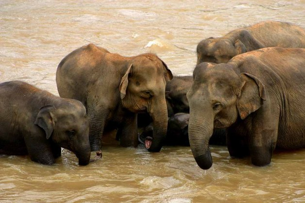 Sri_Lankan_elephants